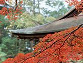素材辞典 紅葉のカエデ